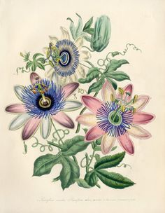 Passiflora carulea, Passion Flower by Jane Loudon from Exotic Botanicals Prints 1841