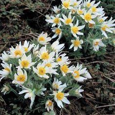 Anemone - Pulsatilla White