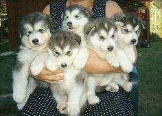 So cute! Huskie puppies