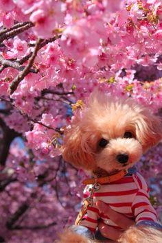 """With Kawazu zakura Toy poodle """"Roy"""" http://ameblo.jp/20050919ty/"""