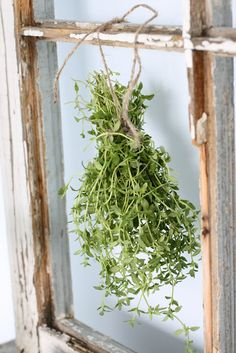 thyme-In some Levantine countries, and Assyrian, the condiment za'atar (Arabic for thyme) contains thyme as a vital ingredient. It is a common component of the bouquet garni, and of herbes de Provence.
