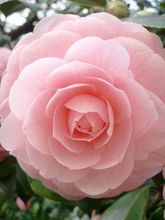 Lush, pink camellia