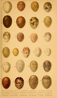 British birds' eggs and nests : illustrations by W. S. Coleman, 1870 - Biodiversity Heritage Library