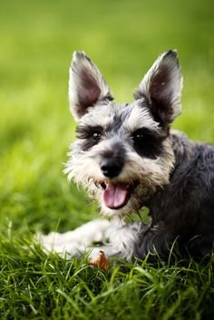 Mr. Mac (by far the worst behaved of my four schnauzers) pictures are so deceiving