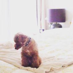 お留守番なのhousekeeping AGAIN!? #wooftoday #toypoodle #dog #poodle #doginstagram #ilovemydog #dogstagram #mydogiscutest #dogsofinstagram #cutedog #smalldog #犬 #トイプードル