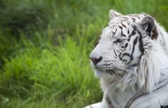 From Getty: A white tiger is pictured in its compound on June 30, 2011, at the Amneville's zoo, eastern France. AFP PHOTO / JEAN-CHRISTOPHE VERHAEGEN)