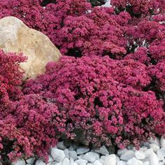 This colorful new groundcover Sedum sports cherry-red leaves. It is ultra-compact reaching tall.The leaves of Cherry Tart Sedum remain a colorful cherry-red all summer long and never fade like other groundcover Sedums such as 'Voodoo', 'Fulda Garden Nursery, Plant Nursery, Colorful Flowers, Pink Flowers, Beautiful Flowers, Sedum Plant, Perennial Plant, Vertical Garden Plants, Plants That Attract Butterflies