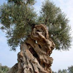 #alberi #bellezza #ulivi #biodiversità #natura #ambiente #ecologia