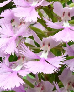 Macro of Large-Purple-Fringed-Orchid [Platanthera grandiflora], in habitat, Chattahoochee National Forest, Lumpkin County, Georgia | Flickr - Photo Sharing!