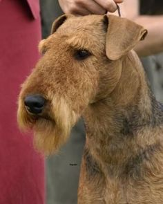 Instructions for hand striping of an Airdale Terrier Airedale Terrier, Fox Terrier, Welsh Terrier, Poodle Grooming, Cat Grooming, Dog Haircuts, Purebred Dogs, Large Dog Breeds, Pet Id