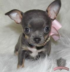 This is the blue chi puppy I want for 2014!!!!:))