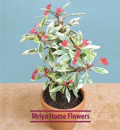 Euphorbia Peppermint Candy  Rare! Home Flowers, Peppermint Candy, Plants, Plant, Planets, Peppermint Fudge