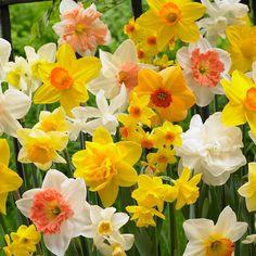 Van Zyverden Daffodils Bulbs Kitchen Sink Mixture (Set of 100)-21459 - The Home Depot