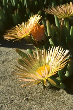 Jordaaniella cuprea flowering in spring on Namaqualand's coastal plain, Northern Cape, South Africa South African Flowers, Succulent Species, Cactus, African Plants, Trees To Plant, Flower Power, Wild Flowers, Flora, Landscape