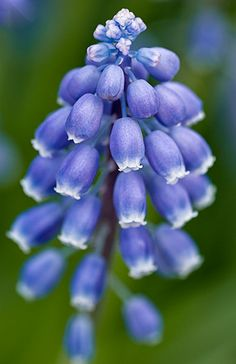 Grape Hyacinth, Muscari