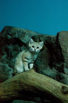 Sand Cat - Can I Haz Rodent