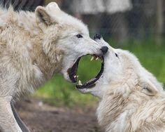 Polar wolf's argument