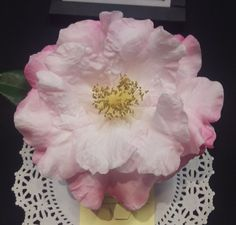 Camellia x 'Holy Pure'