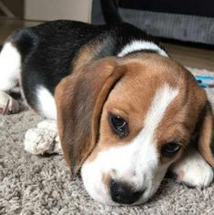 Fall in Beagle Love with these Cute Beagle Puppies and 10 Beagle Facts! Copper the Beagle Puppy look a little tired! Meet and fall in love with the Beagle Puppy! Enjoy some random facts about this awesome dog Breed. Cute Beagles, Cute Puppies, Cute Dogs, Dogs And Puppies, Funny Dogs, Doggies, Toy Dogs, Baby Beagle, Beagle Puppy