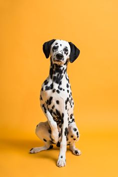 This photo album was shot by Leigh Demshar of Chewbone Studio and features some of the most adorable puppy portraits we've ever seen! See Full Photo Gallery >> Puppy Litter, Dalmatian Dogs, Dog Portraits, Dog Photos, Beautiful Dogs, Animal Photography, Light Photography, Dog Mom, I Love Dogs