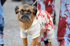 7 Best Zombie Dog Images Dog Costumes Dogs Zombie Costumes