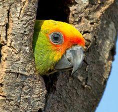 Golden-capped parakeet