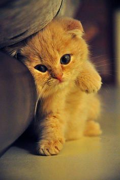 Sweet Orange Cat Sebastian loves cats I don't. Cute Kittens, Cats And Kittens, Animals And Pets, Baby Animals, Funny Animals, Cute Animals, Most Beautiful Cat Breeds, Beautiful Cats, Animals Beautiful