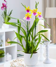 Viooltjesorchidee 'Sunset' product foto