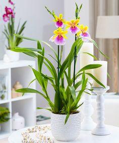 Viooltjesorchidee 'Sunset' product foto