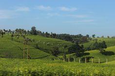Tea, near Limuru, Kenya  ( E.L)