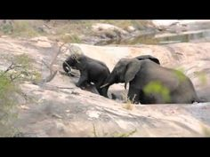 In Kruger Nat'l Park, South Africa, a mother saves her baby ellie from drowning.