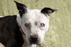 Athena is an adoptable Pit Bull Terrier Dog in Polson, MT Athena is about 6 years old and as sweet as can be. She is blind and therefore will need a home ... ...Read more about me on @petfinder.com