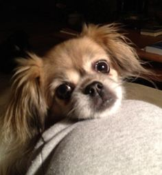 This dog looks EXACTLY like my dog Sophie. Apparently it's a tibetan spaniel.