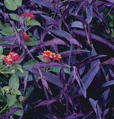 {with lantana}Setcreasia pallida -- Purple heart. {with lantana} Flower Garden, Front Flower Beds, Backyard Flowers, Plants, Foliage Plants, Purple Plants, Perennials, Flower Beds, Purple Heart Plant