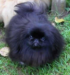 Just look at that Pekingese face!  I never owned a black Peke, but I have owned a Fawn, 2 Reds and a Biscuit