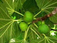 Uno de los árboles más útiles y ornamentales que podemos tener en nuestro jardín. ¡No lo dudes!