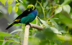 9 flashy, paradise, tanager, bird, leaves, animal wallpapers 600 ...