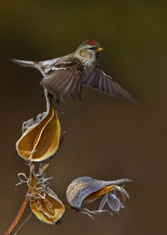 Photograph Redpoll by Jim Cumming on 500px