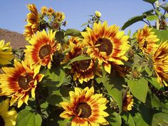 sunflowers   Beautiful Sunflower