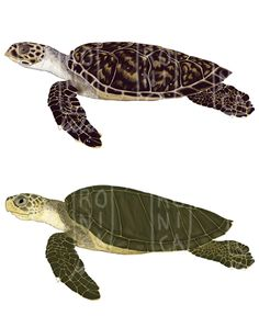 Turtles Digital - © Verónica Melo www.veronicamelo.com Verona, Turtles, Digital, Illustration, Animals, Tortoises, Animales, Turtle, Animaux