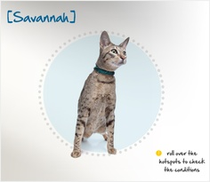 Friendly, intelligent, sociable, energetic and playful, the Savannah has a curious nature — he can even learn to open doors, cabinets and drawers on his own to find treats within! He will also scale heights with his excellent jumping skills, and can learn to walk on a leash. Devoted to his family, he will fluff or wag his tail in greeting. When introduced at a young age, the Savannah will adapt well to living with dogs, other cats and children.