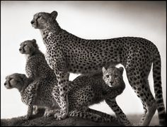 Les animaux africains de Nick Brandt animal afrique savanne nick brandt 02 photographie art