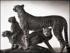 Les animaux africains de Nick Brandt animal afrique savanne nick brandt 02 photographie art
