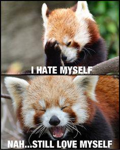 red pandas - Google Search