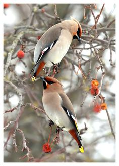 Bohemian Waxwings. My boss at work loves these birds. She brought me outside one day at work just to watch hundreds of them in the trees. God's creatures are all so wonderful!