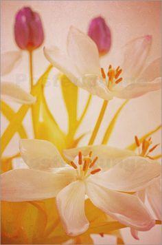 Tulpen Blumenstrauß im Stillleben Bilder: Poster von Tanja Riedel bei Posterlounge.de