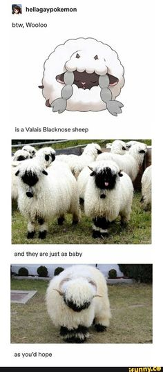 & hellagaypokemon btw, Wooloo is a Valais Blacknose sheep - iFunny :) Pokemon Memes, Pokemon Funny, Cute Little Animals, Cute Funny Animals, Funny Cute, Animals And Pets, Baby Animals, Valais Blacknose Sheep, Animal Pictures