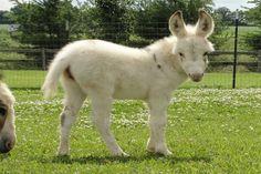 Fuzzy baby miniature donkey