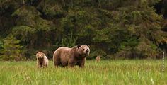 Where the grizzly walks, the earth is healthy and whole.