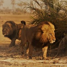 The two male lions seen regularly around at the moment Absolutely magnificent specimens Okavango Delta, Male Lion, Lions, Wilderness, Safari, Two By Two, Canvas, Animals, Wildlife Nature